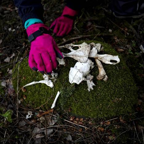 Herttoniemen metsistä Erkki Koro löysi linnun ja pienten jyrsijöiden luita.