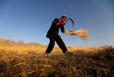 Afganistanilainen mies niitti vehnää Kabulin esikaupungissa Afganistanissa maanantaina.