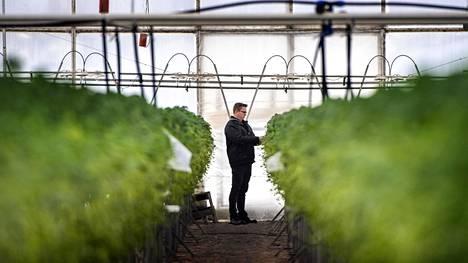 Puutarha Tahvoset myy muun muassa Korona- nimistä mansikkalajiketta.