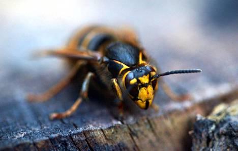 Noin 30 asteen lämpötila on ampiaiselle otollinen.