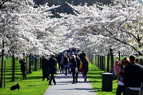 Ihmiset parveilivat viime sunnuntaina kirskikankukkien katveessa Battersea Parkissa Britanniassa.