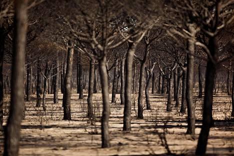 Metsäpalon jälkiä Donanan kansallispuistossa Matalascanasin lähistöllä Espanjassa maanantaina.