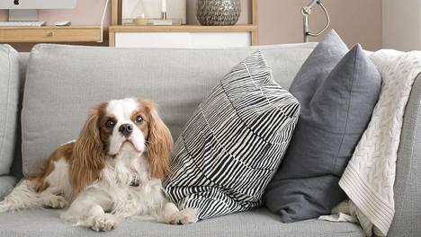 Koira muuttaa kodin mikrobistoa.