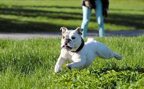 Englanninbulldoggi Lola ulkoili Helsingissä viime perjantaina.