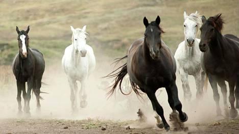 Hevosen vahvin tarve on olla muiden hevosten kanssa. Sillä on myös voimakas pakoreaktio, joka voi aiheuttaa yllätyksiä ihmiselle,