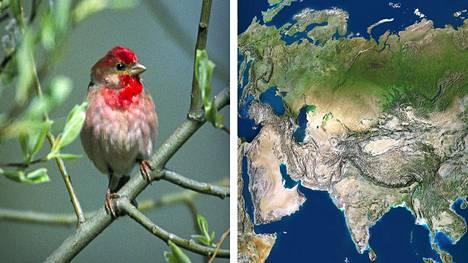 Punavarpusen matkan salaisuuksia on selvitetty eurooppalaisessa tutkimushankkeessa.