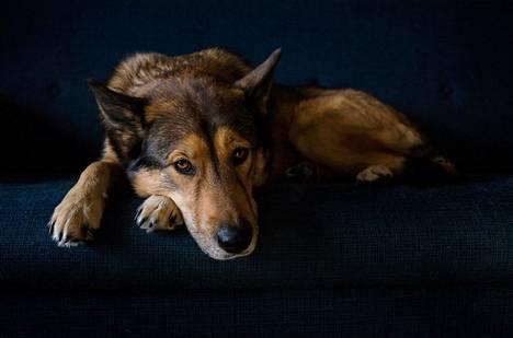 Koirien luonteeseen kuuluu uteliaisuus ja halu osallistua. Jos koiran käytös muuttuu apaattiseksi ja haluttomaksi, on sillä todennäköisesti jokin vikana.
