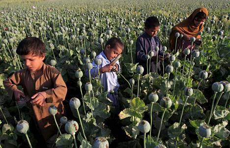 Lapset keräsivät unikon kukinnoista raakaoopiumia Jalalabadin alueella huhtikuussa 2015.