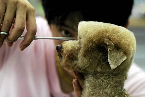 Koira istui eläinkaupan parturissa Taiwanin suurimmassa kaupungissa Taipeissa. Tarkkalinjaisen leikkauksen tekeminen kestää pari tuntia.