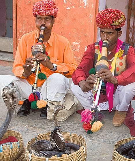 Myrkkykäärmeet tappavat ihmisiä erityisesti Intiassa. <br />Jaipurin kaupungin käärmeenlumoojilla on koreissaan kobria.
