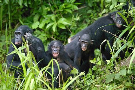 Bonoboja kotikonnuillaan Kongossa.