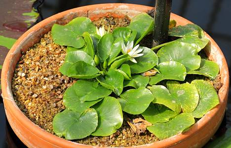 Lummekasveihin kuuluva Nymphaea Thermarum varastettiin torstaina Kew Gardensista Lontoosta.