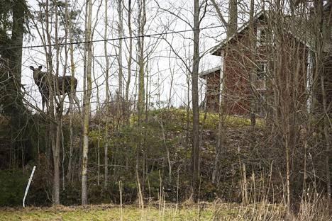 Östersundomin rakentamista on suunniteltu jo kymmenen vuotta. Vielä toistaiseksi hirvet saavat käyskennellä aika lailla rauhassa entisen Sipoon alueella.