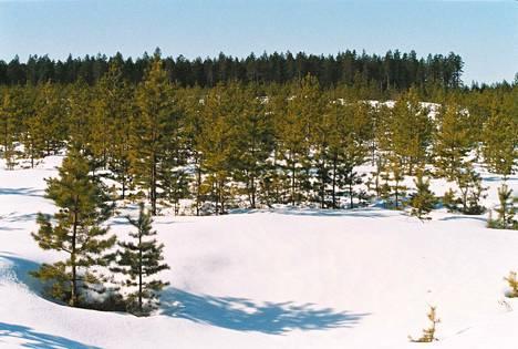 Avohakkuuaukealla kasvanutta uutta metsää Hämeessä.