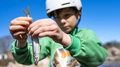 Juho Paju kalasti haavilla kuoretta eli norssia sunnuntaina Moisionkoskesta Salosta.