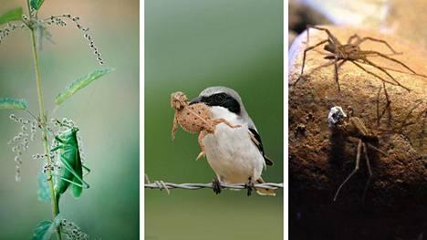 Idänhepokatti, isolepinkäinen ja eteläamerikkalainen hämähäkkilaji ymmärtävät lahjojen päälle.