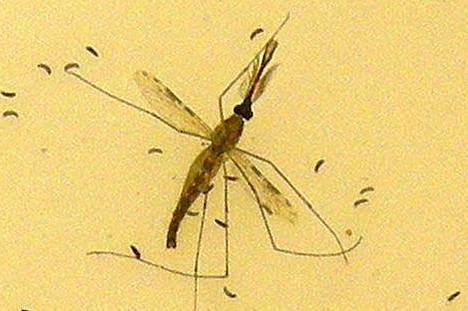 Anopheles-suvun sääsket ovat Afrikassa pahimpia malariatartunnan levittäjiä.