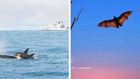 Miekkavalas ja poikanen Tyynellä valtamerellä helmikuussa 2015 sekä lentävä lepakko syyskuussa 2017.