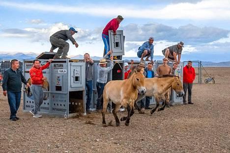 Yanja ja Helmi päästettiin vapaaksi totutusalueelle Mongoliassa torstaina.