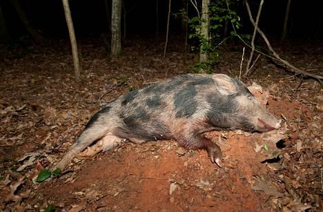 Tämä parikymmentäkiloinen villisika kaadettiin Alabaman Union Springsissä kesäkuussa 2012.