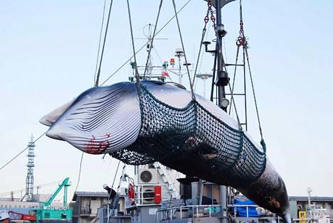 Lahtivalas Kushiron satamassa Hokkaidolla vuonna 2017. Valas pyydystettiin tieteellisen tutkimuksen nimissä.