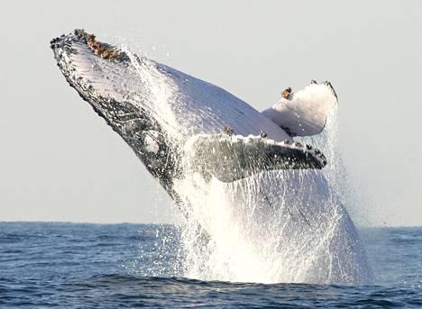 Ryhävalas kuvattuna Etelä-Afrikan vesillä 2004.
