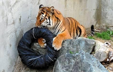 Isot petoeläimet saavat repiä ja purra farkkuja japanilaisessa Kaminen eläintarhassa. Kuva on viime huhtikuulta.