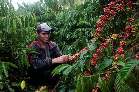 Työntekijä keräsi robusta-satoa kahvipensaista Nueva Guineassa Nicaraquassa joulukuun lopulla 2017.