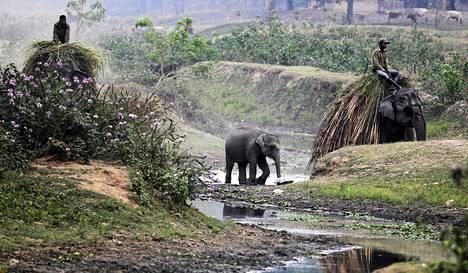 Intialaiset norsuratsastajat keräsivät ruohoa ruokkiakseen elefantit Kazirangan kansallispuistossa Assamin osavaltiossa tiistaina. Puisto suljetaan vierailijoilta pariksi päiväksi, koska siellä lasketaan sarvikuonojen määrä. Aiemmassa laskennassa vuonna 2013 sarvikuonoja oli 2 329.