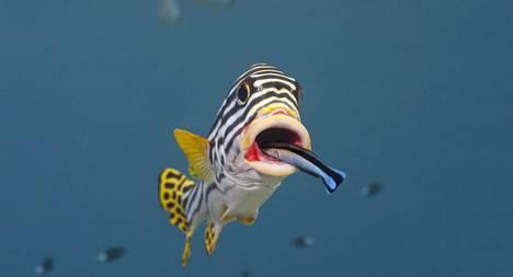 Pieni puhdistajakala huolehtii riutan yhteisön fyysisestä ja henkisestä hyvinvoinnista.