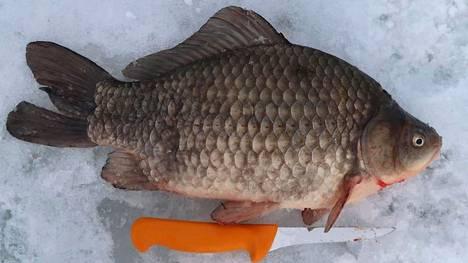 Hopearuutana on suurisuomuinen särkikala. Se voi kasvaa noin 50 sentin pituiseksi ja 3,5 kilon painoiseksi. Kuvan kala on pyydetty Laajalahdelta Helsingin ja Espoon rajalta maaliskuussa 2021.