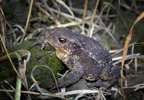 Rupikonnat liikkuvat lähinnä hämärässä ja pimeässä.