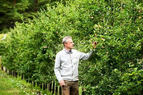 Rikard Korkmanin vajaan hehtaarin kokoisessa omenatarhassa on 650 tuottavaa omenapuuta