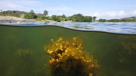 Suomen rannikkovesissä on niukasti laajoja rakkohaurukasvustoja, jotka kertovat veden hyvästä tilasta. Kuvassa Rakkohaurua Saaristomerellä Korppoon saaristossa kesällä 2010.