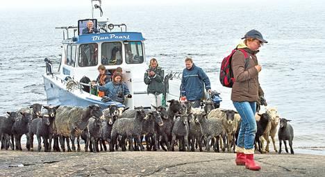 Lampuri Nilla Salonen johdatti maanantaina lammaslaumansa veneestä laiduntamaan Pyhtään Ristisaareen.
