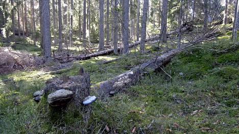 Enemmistä uhanalaisista lajeista elää metsissä, joiden käsittelyllä on merkittävä rooli monimuotoisuuden turvaamisessa. Kuvassa Ragvaldsin ikimetsää Meikon luonnonsuojelualueella Kirkkonummella huhtikuussa 2020.