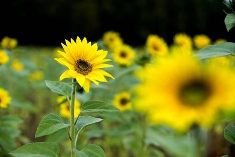 Auringonkukka kuolee syksyllä, mutta siemenestä kasvaa keväällä uusi.