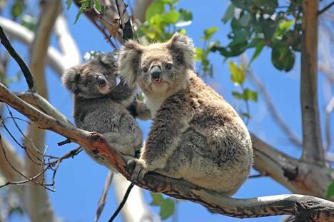 Tiet uhkaavat koalojen elinympäristöjä. Koaloja Great Ocean tien varrella Victoriassa Australiassa.