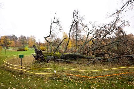 Aila-myrsky kaatoi Tullisaaren kartanopuiston yli 200-vuotiaan tammen syksyllä 2020.