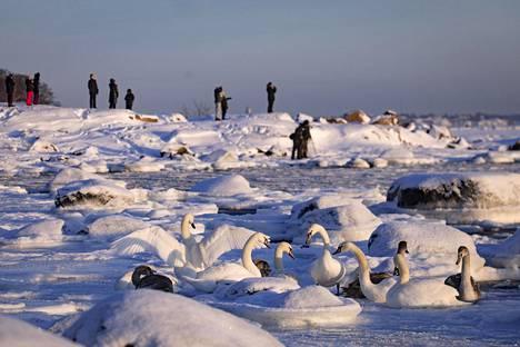 Joutsenia ja ulkoilijoita aurinkoisessa mutta kylmässä pakkassäässä Lauttasaaressa lauantaina.