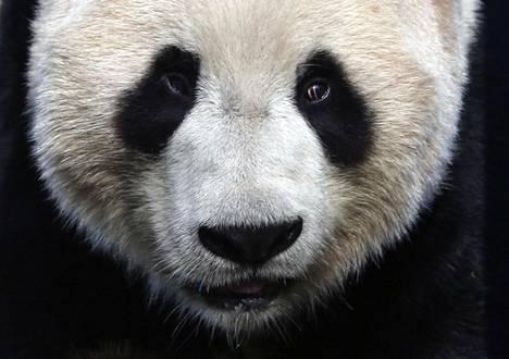 Harvinaisten pandojen lainaaminen on osa Kiinan käyttämää niin sanottua pehmeää valtaa. Yang Guang saapui Kiinasta Edinburghin eläintarhaan vuonna 2011.