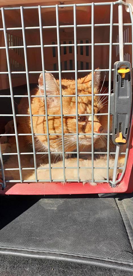 Rontti-kissa käveli itse kiltisti kantokoppaan kahdeksan vuoden karkumatkansa jälkeen.