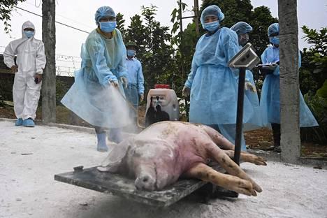 Kuolleen sian ruhoa käsiteltiin sikaruton torjunta-aineella ennen sen hautaamista Vietnamissa toukokuun lopussa.