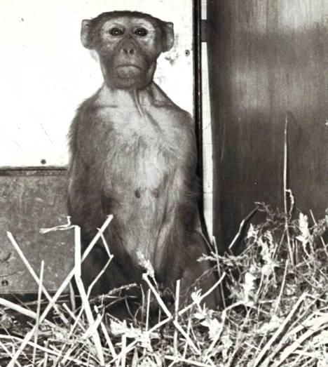 Bimbo on vangittu – elävänä! 204 päivää BOAC:n varastoa Lontoossa terrorisoinut rhesusapina saatiin perjantain vastaisena yönä kiinni ja kuljetettiin laatikossa lentokentän eläinsuojaan, jossa se ryhtyi miettimään kadonnutta vapauttaan.