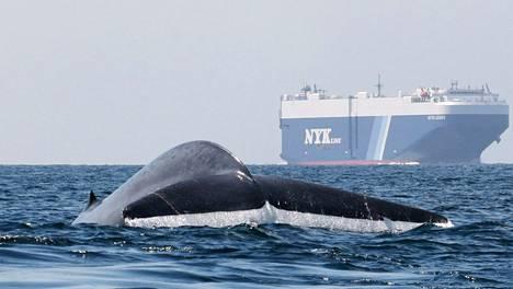 Valaista etenkin hammasvalaat ovat herkkiä melulle, mutta myös hetulavalaat, kuten kuvan sinivalas, häiriintyvät laivojen äänistä. Kuva on Kalifornian rannikolta.