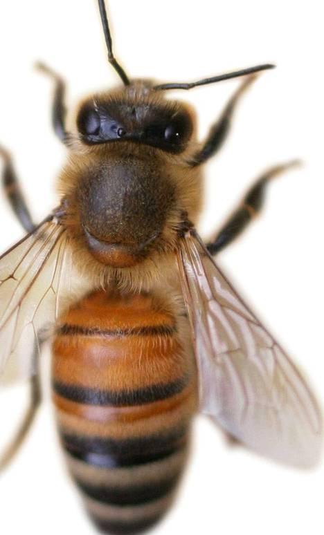Mehiläinen kärsii, kun kasvinsuojeluainetta kulkeutuu mehiläisyhdyskuntiin.