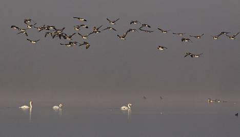 Espoon Matalajärven pesimälinnustoon kuuluu kymmeniä lajeja.