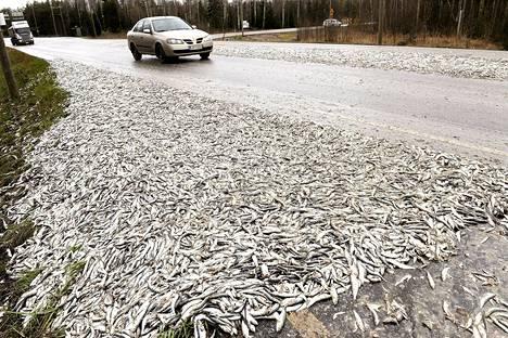 Valtava määrä silakkaa päätyi ajotielle Mäntyluodossa perjantaiaamuna.