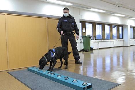Tullin niin sanotut koronakoirat aloittivat harjoittelun hajuerottelulla purkkiradalla. Kuvassa koiranohjaaja Jukka Malinen ja Riesu.