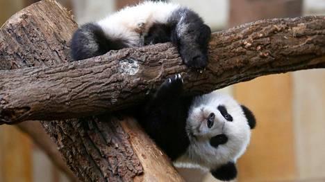Wienin Schoenbrunnin eläintarhassa elävä panda Fu Feng kiipeili puussa maaliskuussa.
